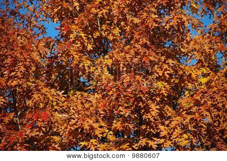 Quercus Palustris Closeup In Autumn