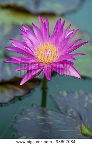 Lotus Blossom In The Pond