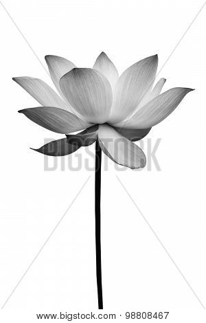 Lotus In Black And White Isolated On White