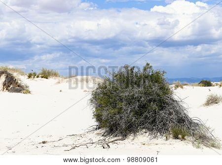 Bush in the Dunes