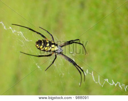 Garden Spider On Web