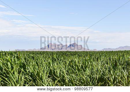 Mountain and Corn Field