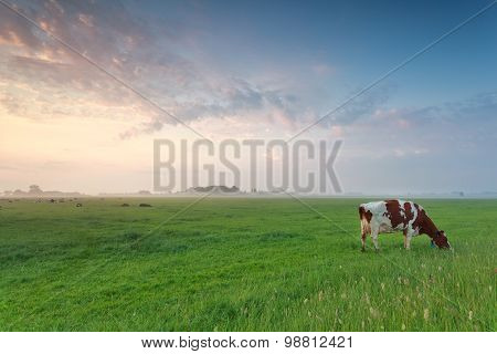 Cow Grazing On Pasture In Morning