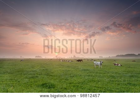 Cattle Herd On Pasture At Sunrise