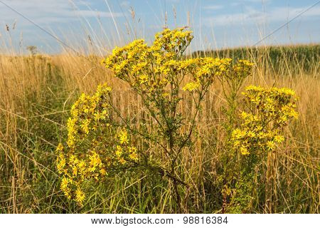 Yellow Flowering Tansy Ragwort From Close