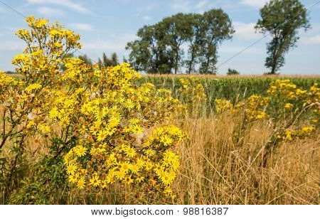 Yellow Flowering Tansy Ragwort At The Edge Of Farmland