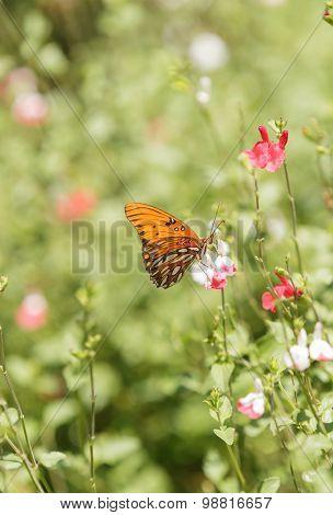Gulf fritillary, Agraulis vanillae, butterfly