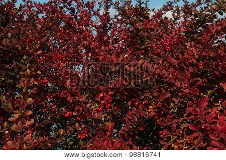 Red bush with red berry