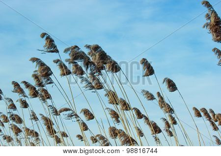 Reed and blue sky background