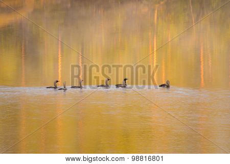 Loons In Water At Sunrise