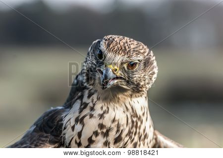 A Hobby Falco subbuteo portrait close up
