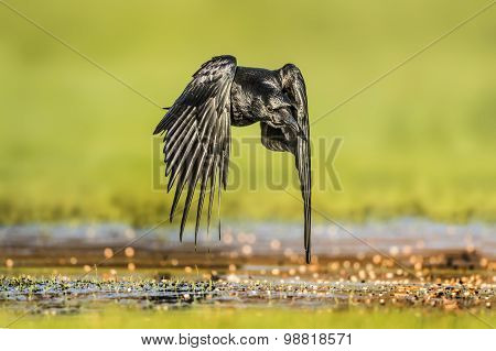 Crow Corvus corone flying over icy grass close up