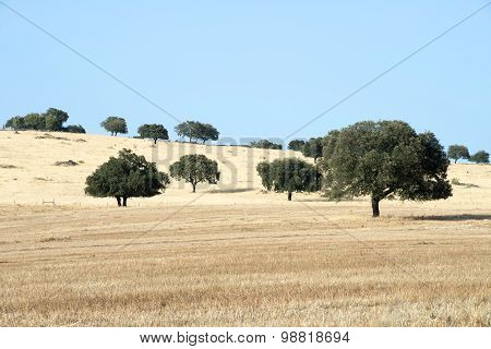 Cork trees in Alentejo, Portugal