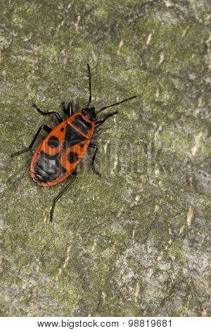 Closeup of firebug Pyrrhocoris Apterus. Macro.