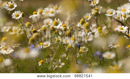 Summer background: daisies on a sunny meadow