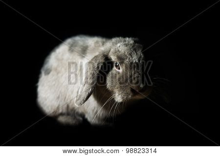Cute Holland Lop Rabbit In The Dark