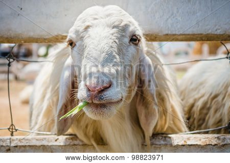Close Up White Sheep