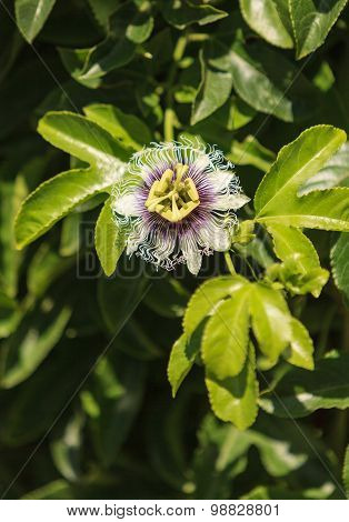 Purple and white passionflower