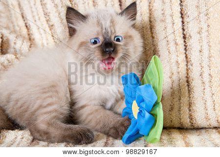 Siamese Or Siberian Neva Masquerade Kitten