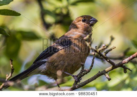 Bullfinch (pyrrhula Pyrrhula)