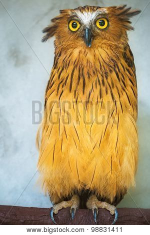 Buffy Fish Owl portrait close up of yellow eyes