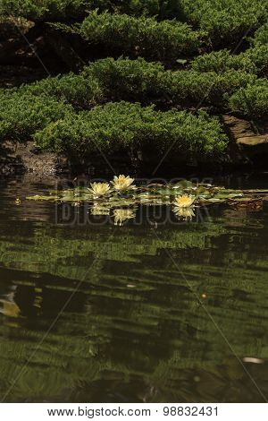 White water lily on top of a koi pond