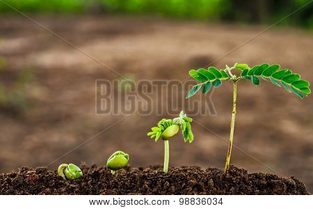 Step Of Growing Tamarind Sprout