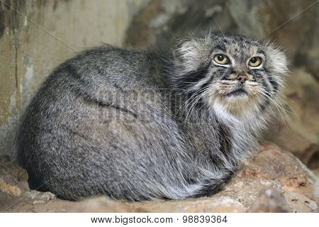 Pallas's cat (Otocolobus manul), also known as the manul. Wild life animal.