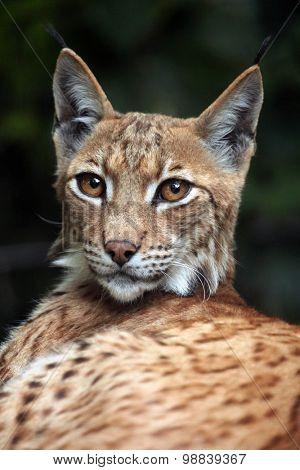 Carpathian lynx (Lynx lynx carpathica). Wild life animal. soft focus.