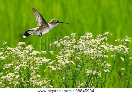 Hummingbird In Motion Surrounded By Chamomile Flowers