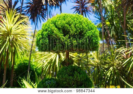Thuja (latin. Occidentalis) green bush