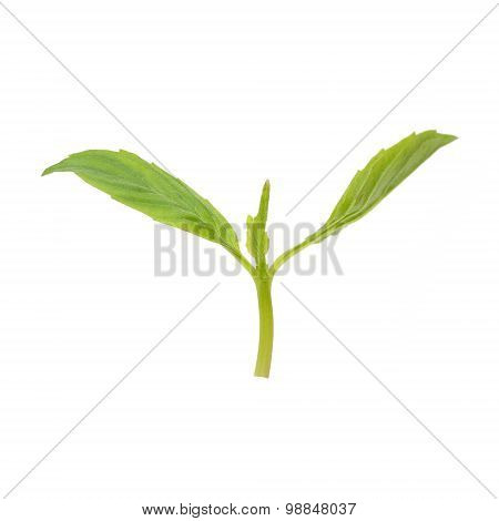 Green Leaves New Bud Isolate On White Background