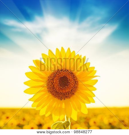 golden sunflower on field and sunset in blue sky