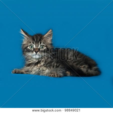 Siberian Fluffy Tabby Kitten Lies On Blue