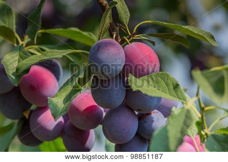 Plum tree with juicy fruits