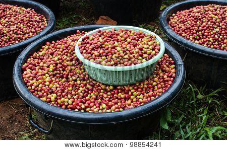 arabica coffee berries