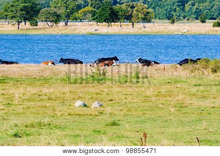 Cows Near Water