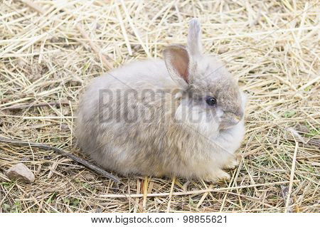 Young Angora Rabbit On Straw
