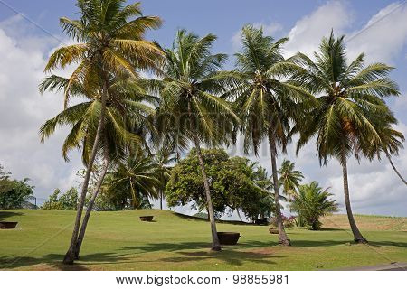 Bright grove of tall palm trees