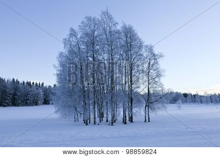 Grove of trees on a wintry meadows.