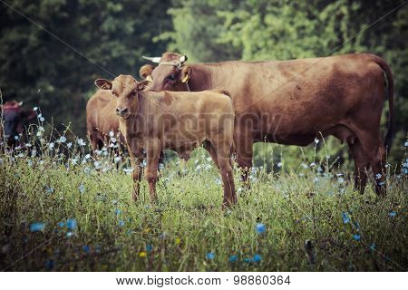 Cow With Calf In The Grass, Suwalszczyzna, Poland.