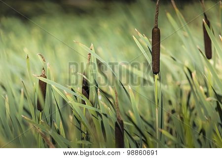 Acorus - Cattail Bush, Suwalki, Poland.