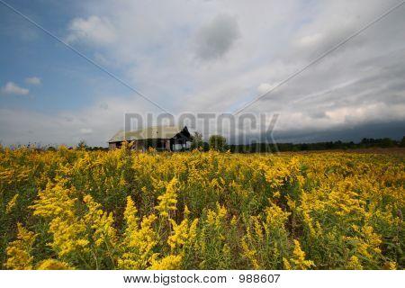 Field_Goldenrod