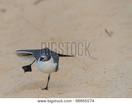 Sea Gull Dancing on Hot Sand