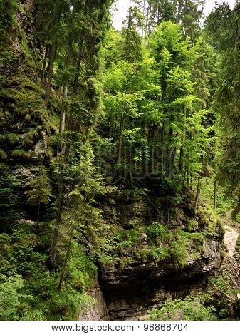 Trees growing on the steep sides of the Breitachklamm Germany