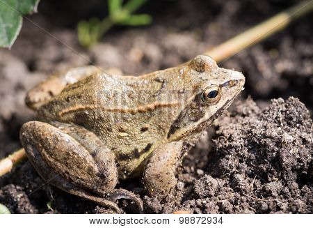 Close Up Frog On A Background Of Grass In Natural Habitat
