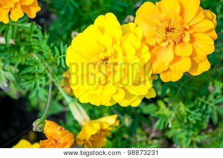 french marigold Tagetes patula against green blured background