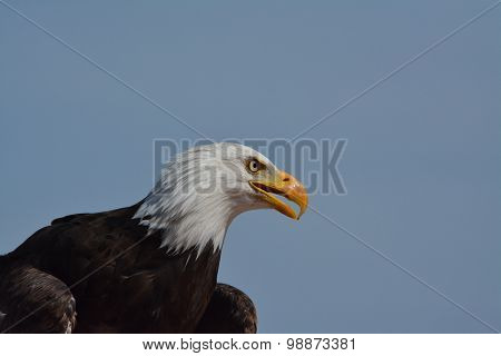 Bald Eagle Scout
