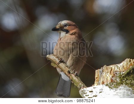 Eurasian Jay on the branch of birch tree