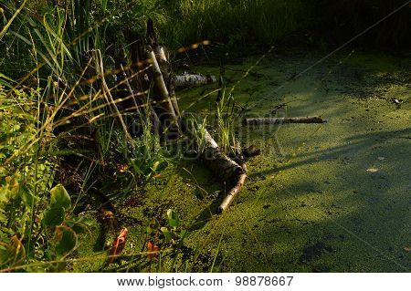 The Water In The River Beaver Dam Is Covered With Thickets Of Duckweed Algae